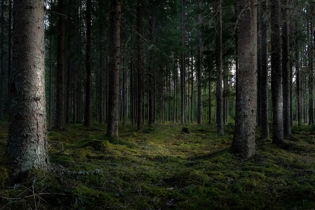 背の高い緑の木々と森の美しいショット