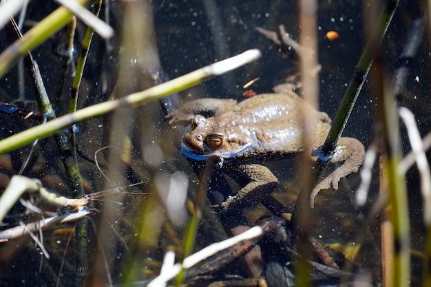 イタリア、南チロルのスルフネと呼ばれる小さな湖で泳ぐカエルの美しいショット