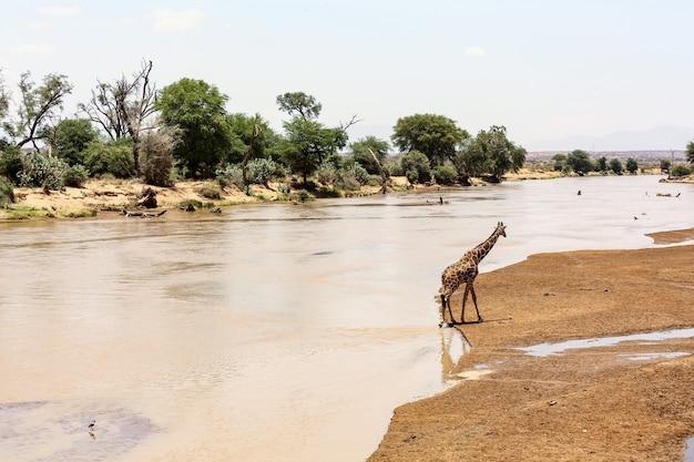Красивая съемка жирафа около озера окруженного красивыми зелеными деревьями
