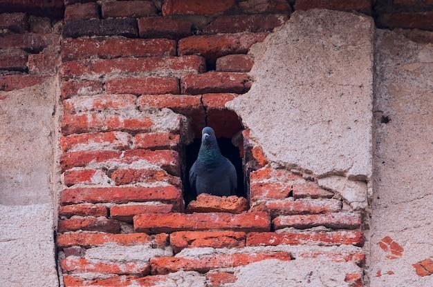 Красивый снимок серого голубя (голубей), сидящего в гнезде в дыре в старой красной кирпичной стене