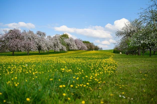 Красивый снимок зеленого поля, покрытого желтыми цветами, возле деревьев сакуры