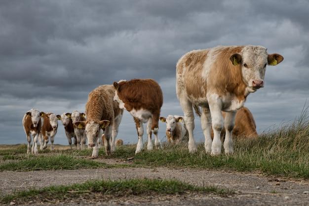 美しい暗い雲の下の牧草地で牛のグループの美しいショット