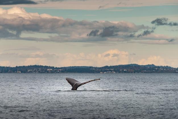 カナダ、ブリティッシュコロンビア州バンクーバーの海岸でダイビングするザトウクジラの美しいショット