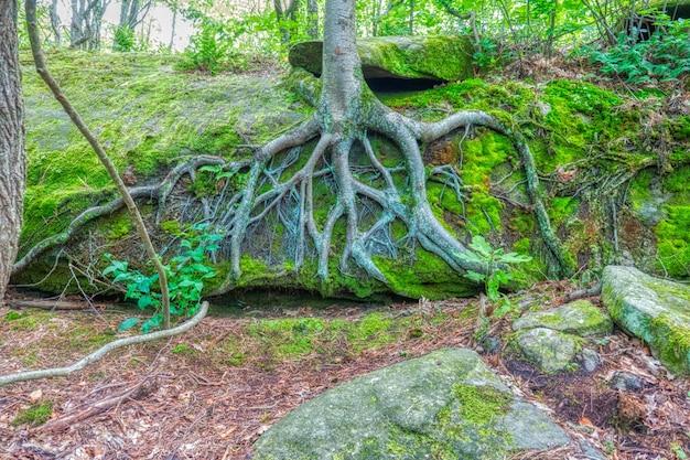 Красивая съемка большого дерева с корнями видимыми на крутом холме в лесу