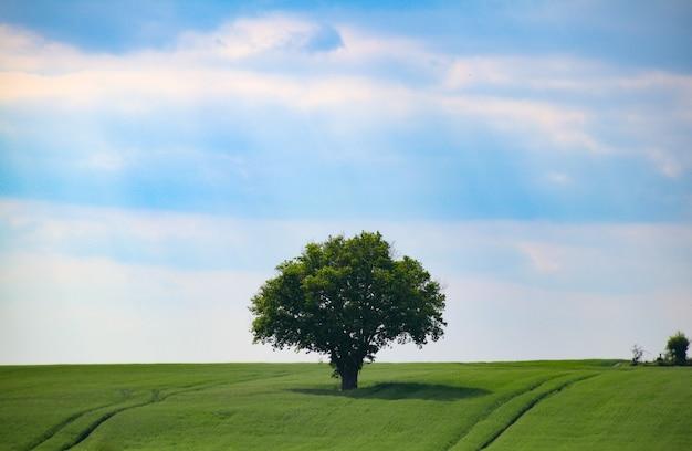 澄んだ空の下でグリーンフィールドの真ん中に立っている孤独な木の美しいショット