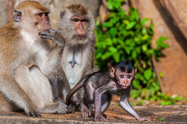 Красивый снимок обезьяны семьи с матерью, отцом и ребенком обезьян
