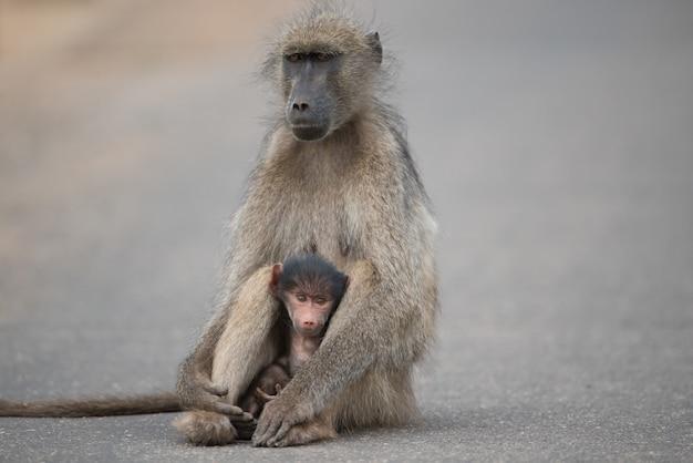 道路に座っている母親と赤ちゃんヒヒの美しいショット