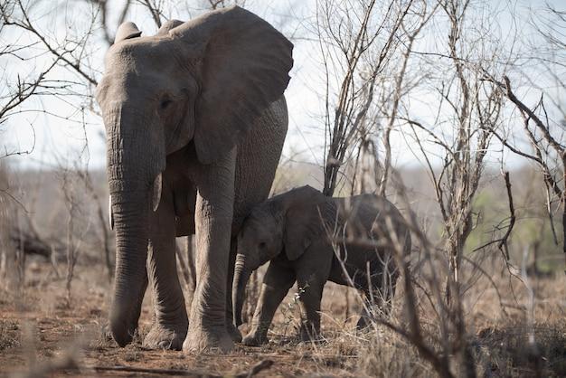 一緒に歩いている母象と彼女の赤ちゃんの美しいショット