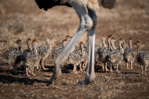 Красивый снимок матери страуса с младенцами