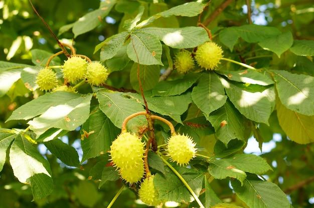 녹색 잎을 가진 플라타너스의 아름 다운 샷