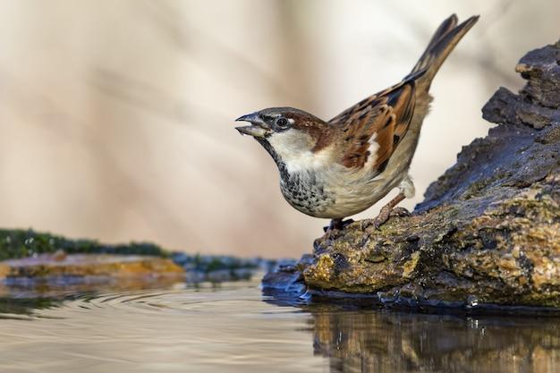 Красивый выстрел птицы воробей на скале в лесу