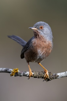 숲의 나뭇 가지에 자리 잡고 subalpine 비틀 새의 아름다운 샷