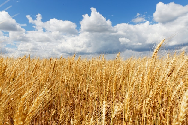 Красивый снимок точильного поля с пасмурным небом