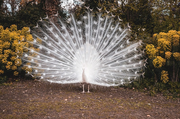 Красивый снимок белого павлина с раскрытыми перьями