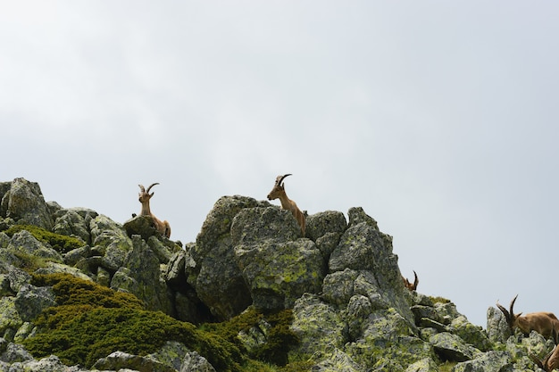 Красивый снимок белохвостого оленя в скалистых горах