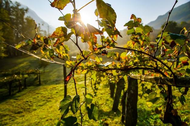 スイスの日光の下でのワイン畑の美しいショット