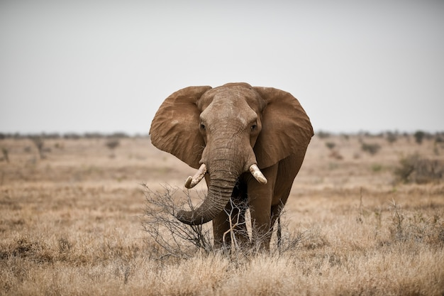 사바나 밭에서 아프리카 코끼리의 아름다운 샷