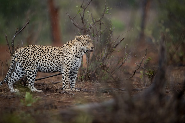 背景をぼかした写真で獲物をアフリカのヒョウ狩りの美しいショット
