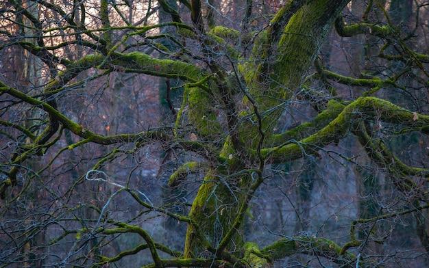 자그레브의 막시 미르 삼림 공원에서 녹색 이끼로 덮여 오래된 오크 나무의 아름다운 샷