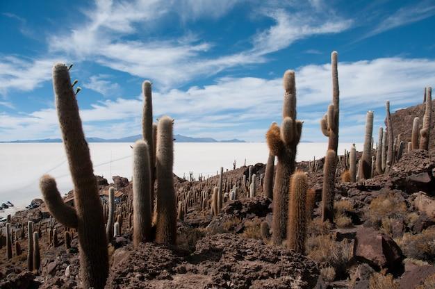 볼리비아 이슬라 잉카우아시의 염전 근처 선인장의 아름다운 샷
