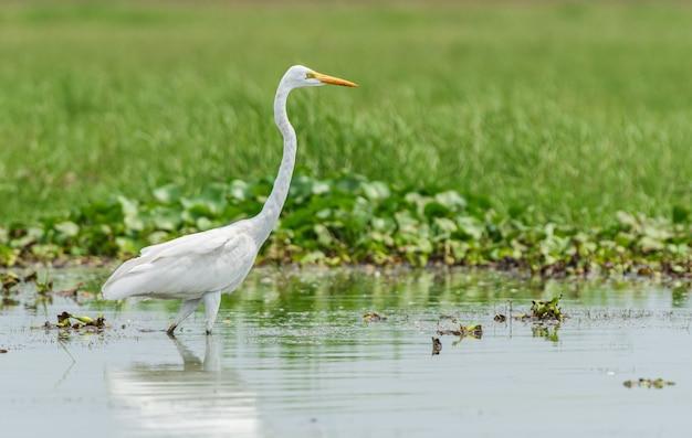 Красивый снимок птицы большая белая цапля в озере чилика в одише, индия