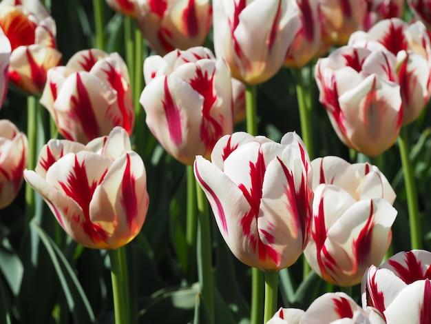 フィールドの真ん中に魅惑的なtulipa sprengeriの顕花植物の美しいショット