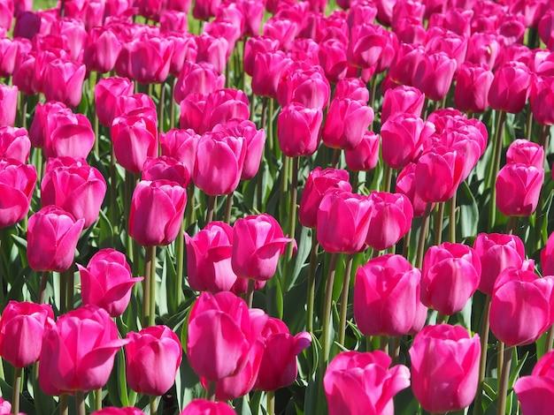 フィールドの真ん中で魅惑的なチューリップsprengeri顕花植物の美しいショット
