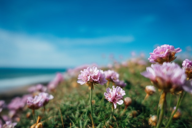 영국에서 맑은 날에 바다로 분홍색 꽃의 아름다운 샷