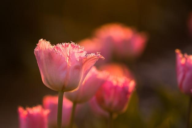 Красивый выстрел из поля розовых тюльпанов