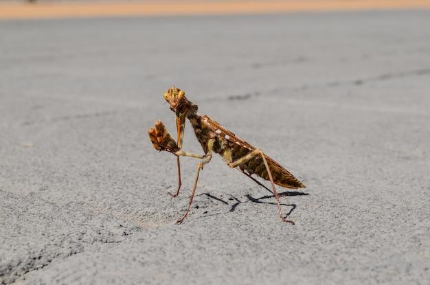 Красивый снимок богомола на бетонной дороге