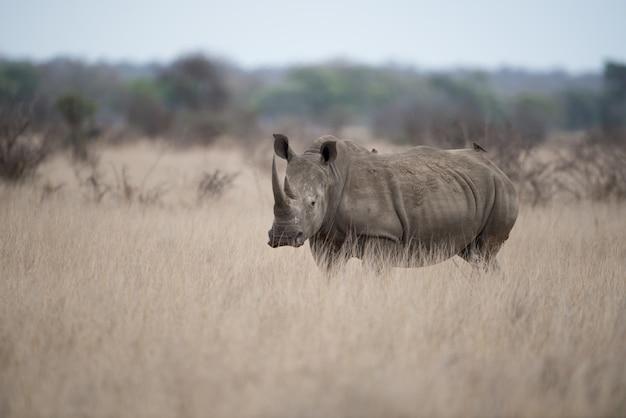 Красивый снимок носорога, стоящего в одиночестве в поле кустарников