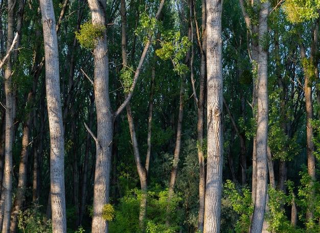 晴れた日に森の緑の葉と背の高い木の美しいショット