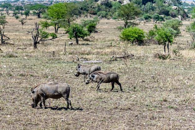 Красивый снимок африканских обыкновенных бородавочников, замеченных на травянистой равнине