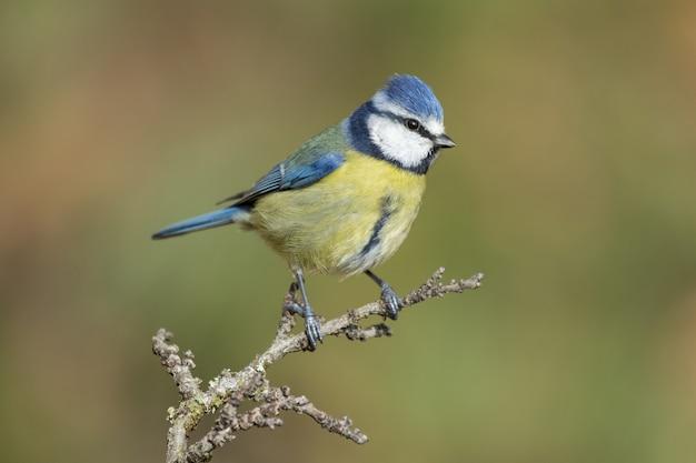 Красивый снимок синицы, сидящей на ветке