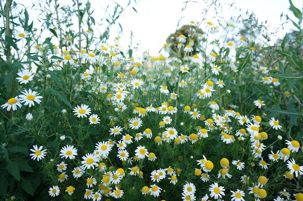 필드에 흰색 데이지 꽃의 아름 다운 샷