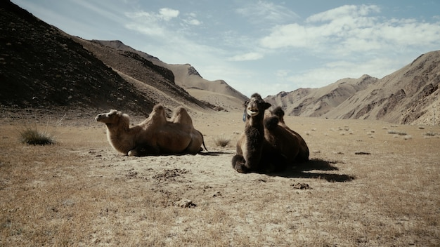 Красивый снимок двух верблюдов, сидящих на земле в пустыне