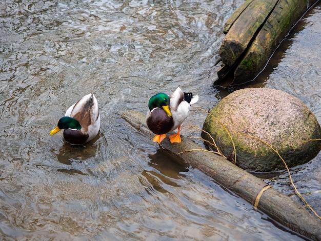 銀行の近くの川で2羽のアヒルの美しいショット
