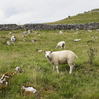 緑の草と数本の木と牧草地で放牧している白い羊の美しいショット
