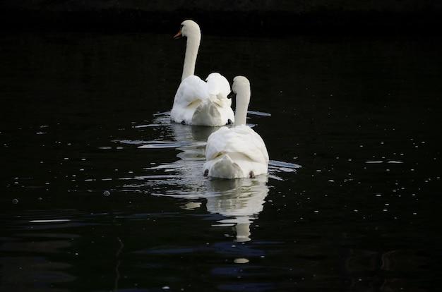 Красивый снимок белых лебедей в озере