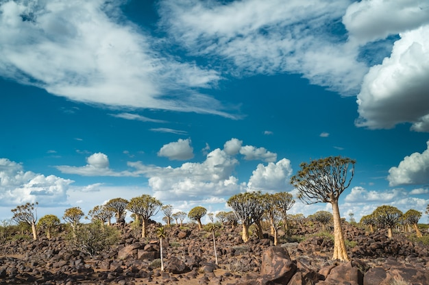 Beautiful shot of a quiver tree forest in namibia, africa with a cloudy blue sky