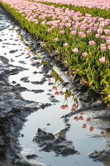 Bellissimo colpo di acqua piovana riflettente nel mezzo di un campo di tulipani nei paesi bassi