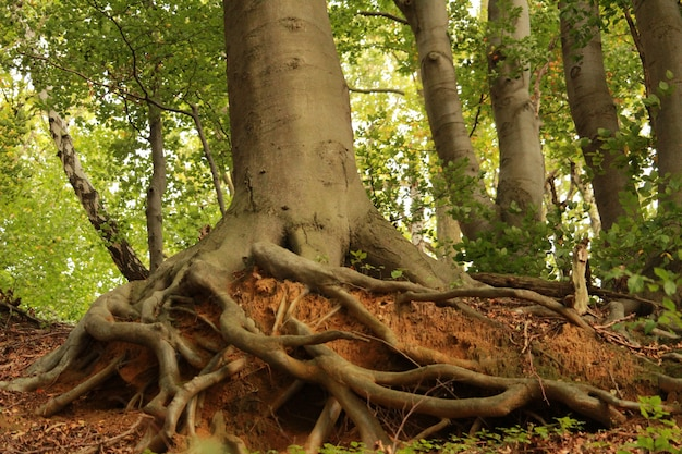Beautiful shot of the roots of an old tree with  a thick trunk in the forest on a sunny day