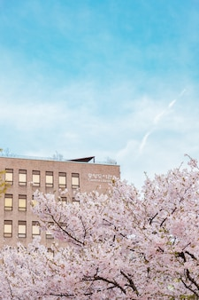 Beautiful shot of sakura trees in an urban area of a the city