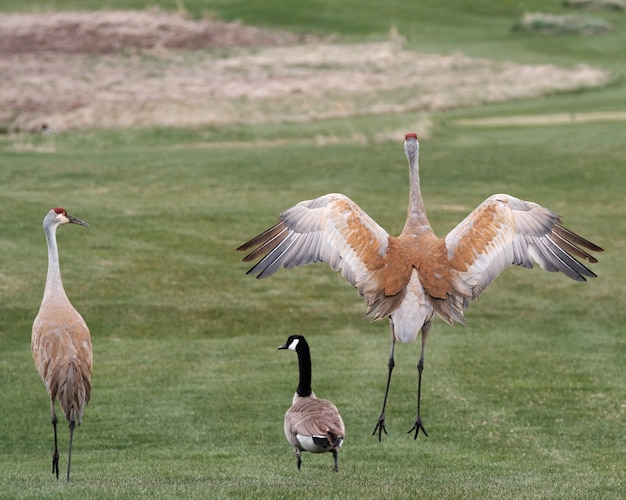 Beautiful shot of sandhill cranes in the field during daytime