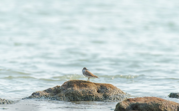 Beautiful shot of a sandpiper bird on the rock in the ocean in india