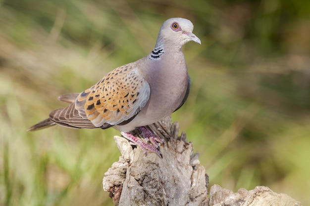 Beautiful shot of stock dove sitting on the rock