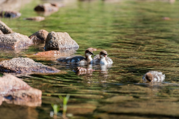 Beautiful shot of three  ducks in the green dirty water with some stones  on the left