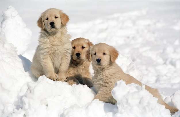 Beautiful shot of three golden retriever puppies resting on the snow with a blurred background