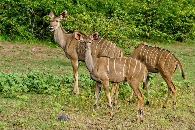 Beautiful shot of three kudus walking together surrounded by green nature during daylight