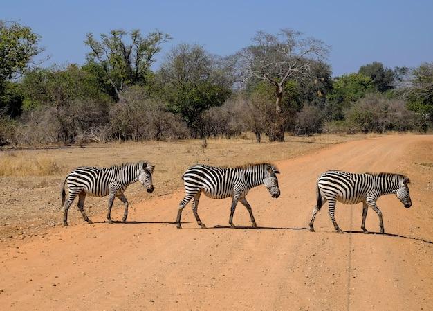 Bellissimo scatto di tre zebre che attraversano la strada in safari con alberi